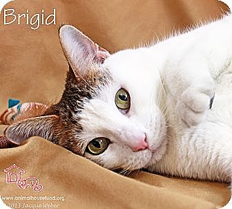 Domestic Shorthair Cat for adoption in St Louis, Missouri - Brigid