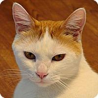 Adopt A Pet :: Cats of Downton Tabby---Robert - Florence, KY