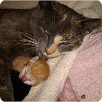 Adopt A Pet :: Pinky - Staten Island, NY