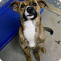 Adopt A Pet :: Ginger - Morgantown, WV