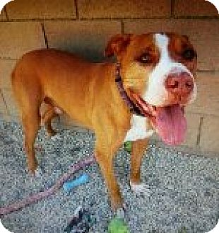 Staffordshire Bull Terrier Mix Dog for adoption in Los Angeles, California - Sampson