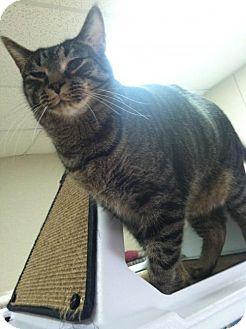 Domestic Shorthair Cat for adoption in Frankenmuth, Michigan - Bernard
