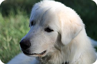 Great Pyrenees Mix Dog for adoption in Kyle, Texas - Lovable Sam