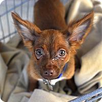 Adopt A Pet :: Venti-Adopted! - Detroit, MI