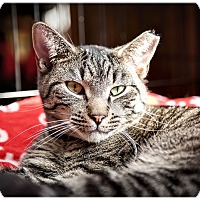 Domestic Shorthair Cat for adoption in Middletown, New York - Pharrell