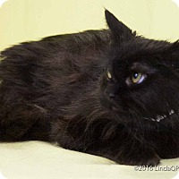 Domestic Longhair Cat for adoption in Las Vegas, Nevada - Bronx