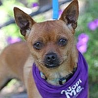 Chihuahua Mix Dog for adoption in Pacific Grove, California - Cheese