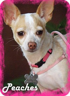 Chihuahua/Jack Russell Terrier Mix Dog for adoption in Anaheim Hills, California - Peaches