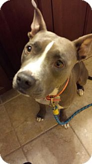 American Staffordshire Terrier Mix Dog for adoption in Los Gatos, California - Diamond