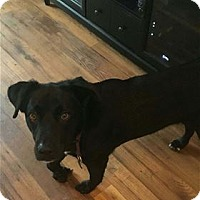 Labrador Retriever Mix Dog for adoption in Nashville, Tennessee - Jack Daniels