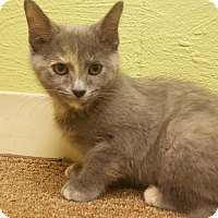 Domestic Shorthair Kitten for adoption in Circleville, Ohio - Tina