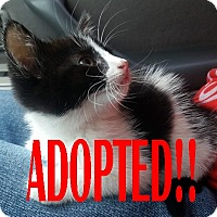 Adopt A Pet :: Miracle - Rochester Hills, MI