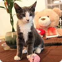 Domestic Shorthair Kitten for adoption in Mooresville, North Carolina - A..  Oswald
