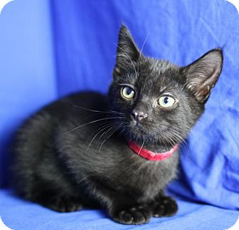 Domestic Shorthair Kitten for adoption in Winston-Salem, North Carolina - Kelvin