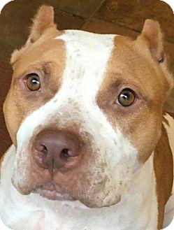 Pit Bull Terrier Dog for adoption in Kansas City, Missouri - Chili Pepper