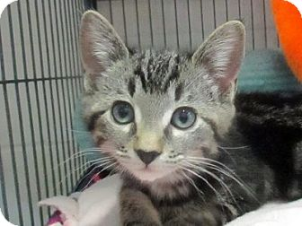 Domestic Shorthair Kitten for adoption in Lloydminster, Alberta - Peony