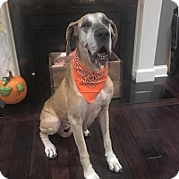 Great Dane Dog for adoption in Oswego, Illinois - Olivia
