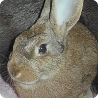 Flemish Giant Mix for adoption in Waupaca, Wisconsin - Annabelle