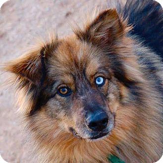 Australian Shepherd/Husky Mix Dog for adoption in Phoenix, Arizona - Bodi