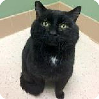 Domestic Shorthair Cat for adoption in Janesville, Wisconsin - Sweetums