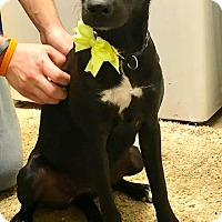 Adopt A Pet :: Bayley - Sterling Heights, MI