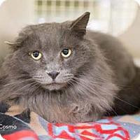 Adopt A Pet :: Cosmo - Merrifield, VA