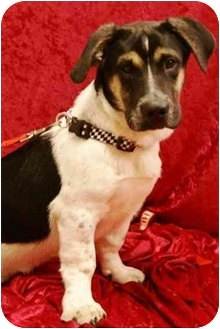 Basset Hound/German Shepherd Dog Mix Dog for adoption in Hendersonville, Tennessee - Tuck