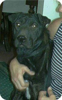 Labrador Retriever/Shar Pei Mix Dog for adoption in Phoenix, Arizona - Dasher