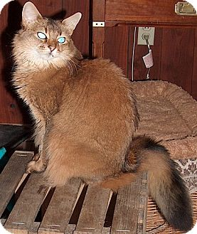 Somali Cat for adoption in Davis, California - Shana