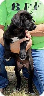 Great Dane/Labrador Retriever Mix Puppy for adoption in Silsbee, Texas - Ajax