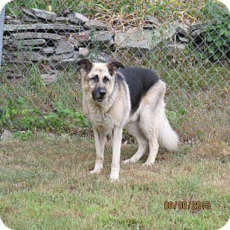 German Shepherd Dog Dog for adoption in Wapwallopen, Pennsylvania - Niko