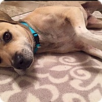 Adopt A Pet :: Stacie - Albemarle, NC