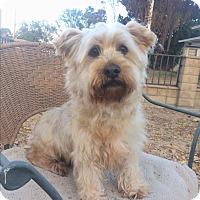 Adopt A Pet :: Bently - Van Nuys, CA