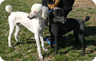 Poodle (Standard) Dog for adoption in moscow mills, Missouri - Max & Ellie