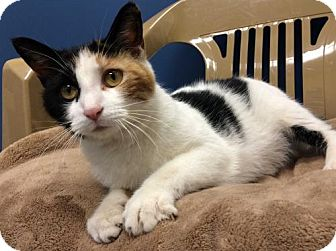 Calico Cat for adoption in Park Falls, Wisconsin - Popcorn