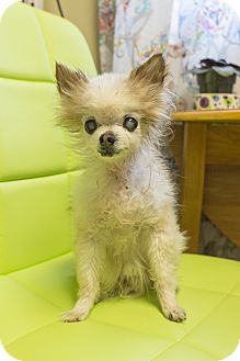 Pomeranian/Chihuahua Mix Dog for adoption in Seattle, Washington - Iggie