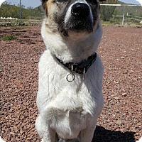 Australian Shepherd Mix Dog for adoption in New River, Arizona - Nala