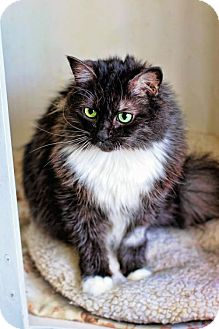 Domestic Longhair Cat for adoption in Markham, Ontario - Darcy