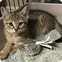 Domestic Shorthair Kitten for adoption in Loogootee, Indiana - Cinna