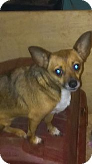 Chihuahua Mix Dog for adoption in Providence, Rhode Island - Katie
