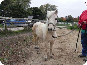 Pony - Shetland for adoption in Woodstock, Illinois - Gracie