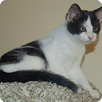 Domestic Shorthair Kitten for adoption in Little River, South Carolina - Molly