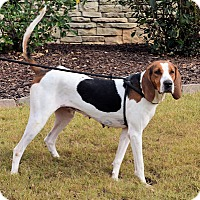 Treeing Walker Coonhound Mix Dog for adoption in Atlanta, Georgia - Maya