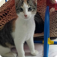 Calico Kitten for adoption in Duluth, Georgia - Bows