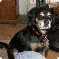 Cocker Spaniel/Retriever (Unknown Type) Mix Dog for adoption in Toluca Lake, California - SPUNKY