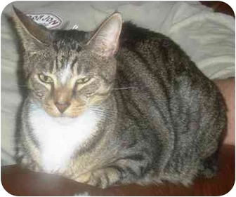 Domestic Shorthair Cat for adoption in Summerville, South Carolina - Toby
