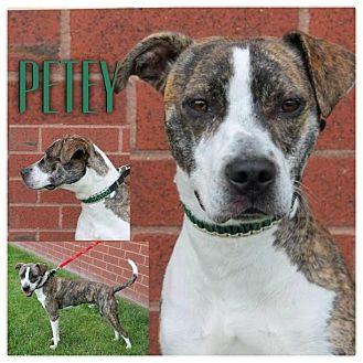 American Pit Bull Terrier/English Bulldog Mix Puppy for adoption in Garden City, Michigan - Petey