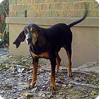 Adopt A Pet :: Walter Brennan - Cape Girardeau, MO