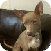 Adopt A Pet :: Stella - Justin, TX