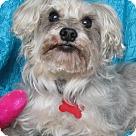Adopt A Pet :: Shelly (Sophie) Schnauzer